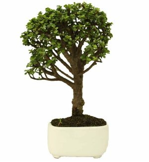Bonsai Hade Monedita Maceta Porcelanizada