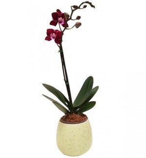 Orquideas Arreglos Florales ó Orquídea Phalaenopsis Mini con Matera en Bogotá a Domicilio
